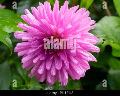 Cactus fleur rose semi de l'été bloming la moitié hardy, tubercule Dahlia 'Préférences' Banque D'Images