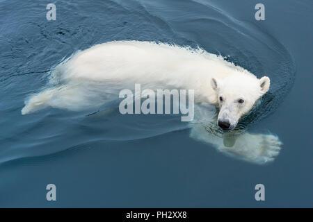 L'ours polaire (Ursus maritimus) natation, archipel du Svalbard, Norvège