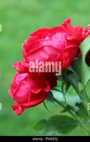 Gouttes de pluie sur les roses rouges vibrantes Banque D'Images