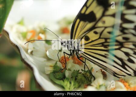 Papillon jaune et noir Gros plan sur les fleurs blanches Banque D'Images