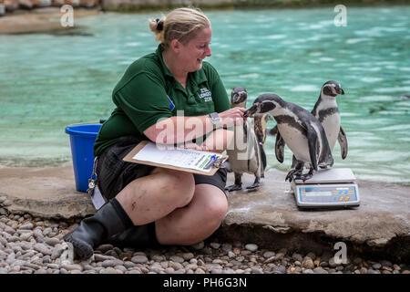 Londres, Royaume-Uni. 23 août 2018. Animaux annuel pesée et mesure pour enregistrer les statistiques au ZSL London Zoo. Crédit: Guy Josse