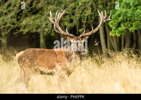 Majestic red deer stag adultes puissants à l'extérieur de l'automne dans la forêt, le Danemark Dyrehaven. La saison des amours, le cerf dans la forêt naturelle de l'habitat, grand bel animal Banque D'Images