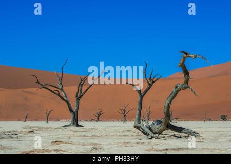 Camelthorn arbres morts (Acacia erioloba) en face des dunes de sable, Dead Vlei, Sossusvlei, Désert du Namib Banque D'Images