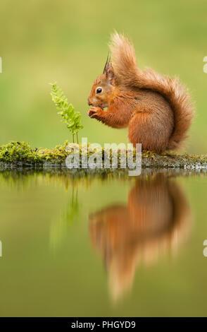 Reflet d'un écureuil roux, Sciurus vulgaris, UK. Banque D'Images