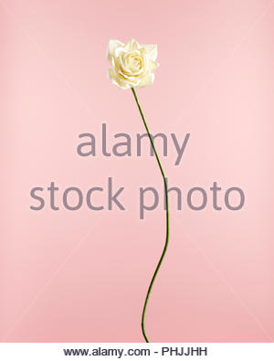 Rose blanche Banque D'Images