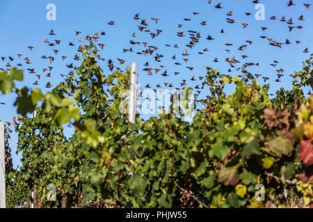 Une volée d'oiseaux, les étourneaux survolant le vignoble Banque D'Images