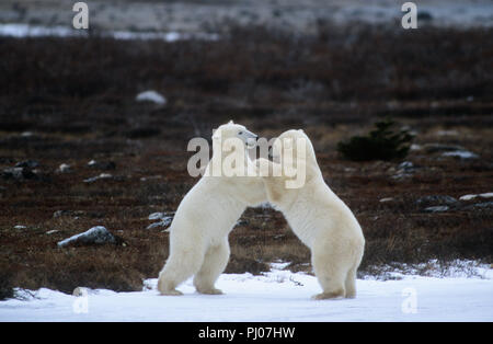 Les ours polaires playfighting près de Churchill, Manitoba, Canada Banque D'Images