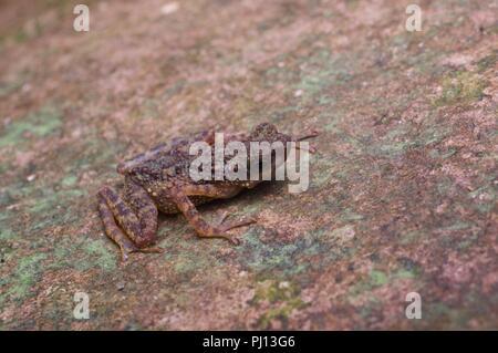 Un nain (crapaud mince Ansonia minuta) sur un rocher dans le Parc National de Kubah, Sarawak, l'Est de la Malaisie, Bornéo Banque D'Images