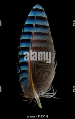 Une plume d'aile d'un goéland, Jay Garrulus glandarius, trouvés sur un sentier. Les geais sont membres de la famille corvidae. Dorset England UK GO Banque D'Images