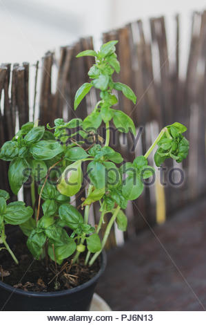 Plante de basilic vert frais dans soft focus. Banque D'Images