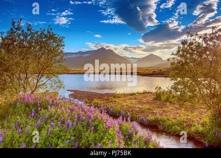 Fleurs de lupin en Islande Banque D'Images
