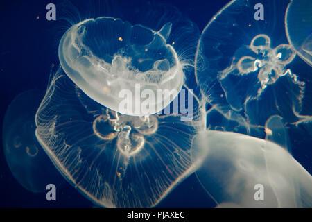 Méduse de lune (Aurelia aurita) flottant sur fond bleu foncé Banque D'Images