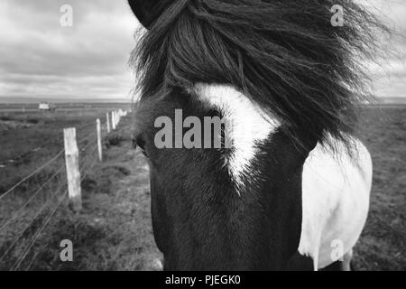 Icelandic Horse Close-up Banque D'Images