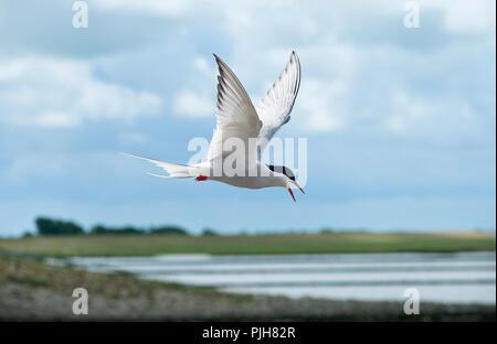 Sterne arctique (Sterna paradisaea), en vol, côte de la mer du Nord, Schleswig-Holstein, Allemagne Banque D'Images