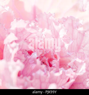 Close up de chou en fleurs dans un jardin. Fleur Rose. Banque D'Images