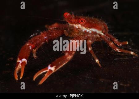 Squat lobster (balssi Galathea). Photo a été prise dans le Détroit de Lembeh, Indonésie Banque D'Images