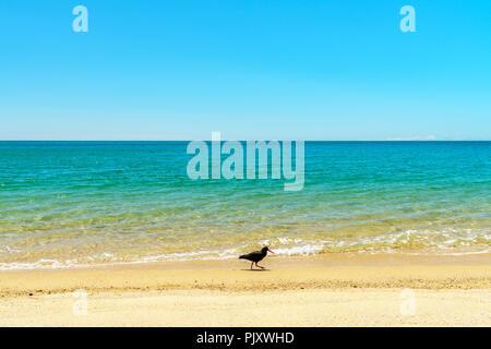 Huîtrier pie avec bec rouge sur une plage tropicale avec de l'eau turquoise et de sable blanc au parc national abel tasman, Nouvelle-Zélande Banque D'Images