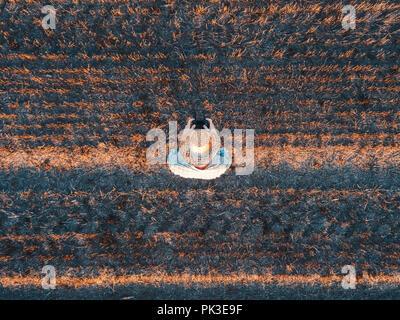 Vue de dessus du producteur aux commandes d'un drone avec télécommande dans les chaumes de blé récolté en été sur le terrain le coucher du soleil Banque D'Images