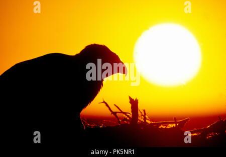 La buse rouilleuse (Buteo regalis) au nid au coucher du soleil dans la rivière Snake Nelson Morley Oiseaux de proie National Conservation Area Florida