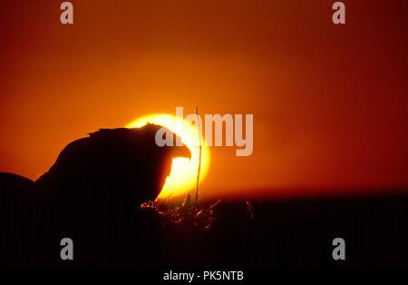 La buse rouilleuse (Buteo regalis) au nid au coucher du soleil dans la rivière Snake Nelson Morley Oiseaux de proie National Conservation Area, Idaho