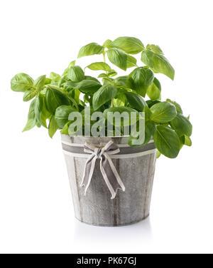Le basilic frais en vase isolé sur fond blanc Banque D'Images