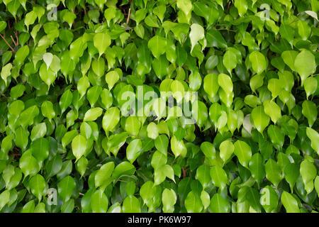 Mur de feuilles vertes. Résumé Contexte La nature. Banque D'Images