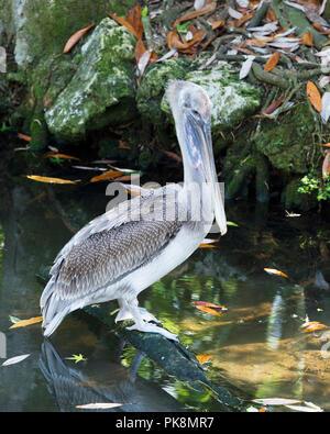 Pélican brun oiseau juvénile par l'eau perchée sur un journal avec un fond de roches et de la mousse à profiter de la vie.