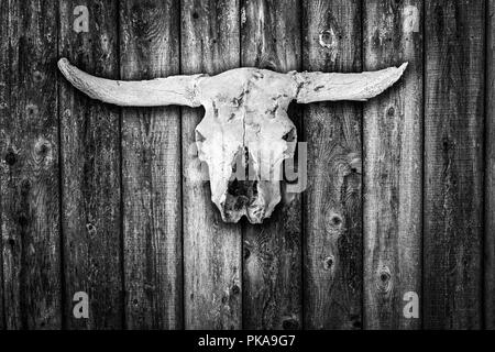 Crâne de vache blanchie soleil accroché sur un mur de la grange en bois patiné en noir et blanc Banque D'Images