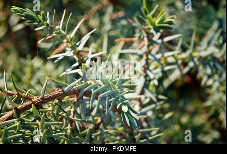Un arbuste d'un routeur Juniper tree, un peu petite avec des feuilles pareilles à des aiguilles est au point , de l'intensité de la couleur Banque D'Images
