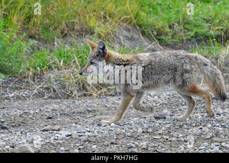 Une vue de côté droit d'une nature sauvage le coyote (Canis latrans) longe le côté d'une route de gravier dans des régions rurales de l'Alberta, Canada. Banque D'Images