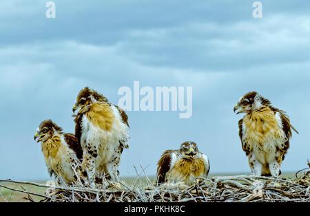 Les juvéniles de la buse rouilleuse (Buteo regalis) au nid dans la rivière Snake Nelson Morley Oiseaux de proie National Conservation Area, Idaho