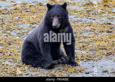 Un ours brun, Ursus arctos, les promenades le long de la rive d'un cours d'eau tandis que la pêche du saumon dans le sud de l'Alaska. Banque D'Images