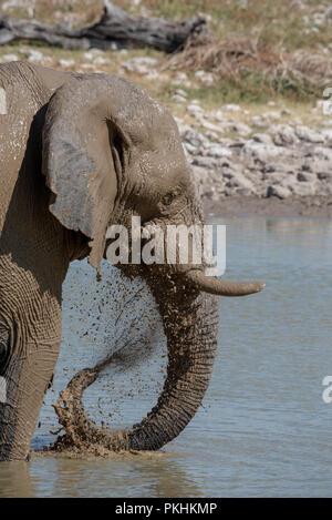 Close up head shot of young elephant ludique couvert de boue debout dans point d'eau et de pulvériser de l'eau sale au visage, Etosha National Park, Namibie Banque D'Images