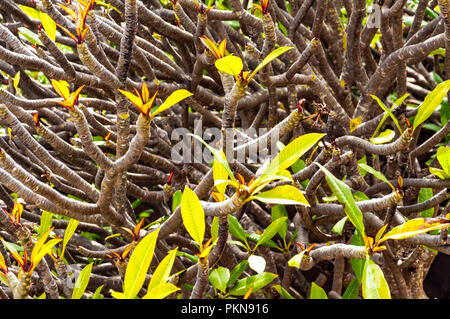 Frangipanier rouge (Plumeria rubra) au printemps à Camps Bay, Afrique du Sud Banque D'Images
