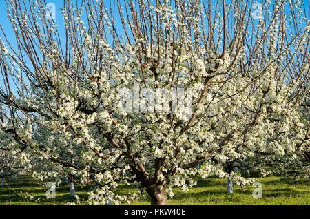 Pruniers en fleurs dans un verger au printemps Banque D'Images