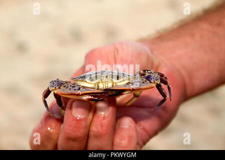 Libre de la main de l'homme crabe petite tenue à la droite à l'appareil photo Banque D'Images