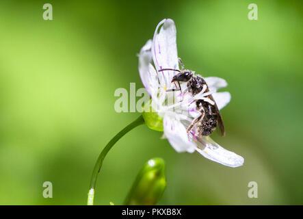 Une abeille recueille le pollen d'une fleur de bonbons (Claytonia sibirica) dans l'Oregon.
