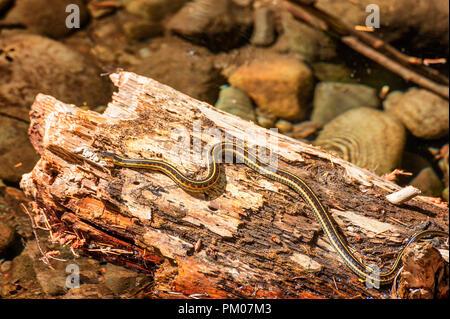 Une couleuvre rayée soleils lui-même sur un demi-journal immergé dans un ruisseau.