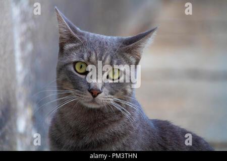Super mignon chat gris isolés portrait on street