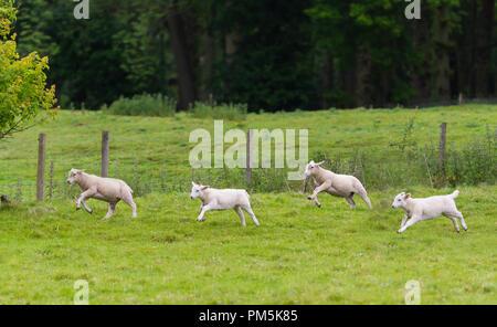 Agneaux blanc tournant sur un champ au printemps à la campagne dans le West Sussex, Angleterre, Royaume-Uni. Banque D'Images
