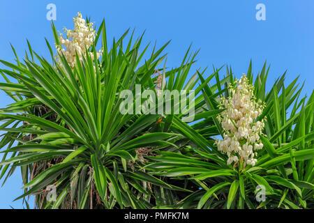 Yucca Gloriosa, Yucca plante en fleurs, fond de ciel bleu, septembre 2018, midi, Andalousie Espagne Banque D'Images