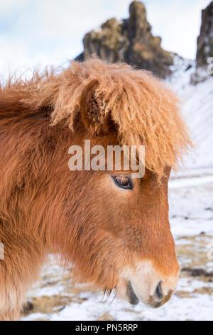 Close-up portrait portrait Vue de côté mignon aux cheveux hirsutes poney islandais typique dans le sud de l'Islande Banque D'Images