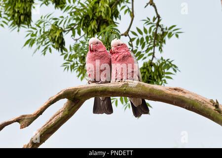 À la légère hausse à une paire de cacatoès à poitrine rouge assis ensemble sur un branches si dans l'amour. les oiseaux sont tous deux tournés vers l'avant