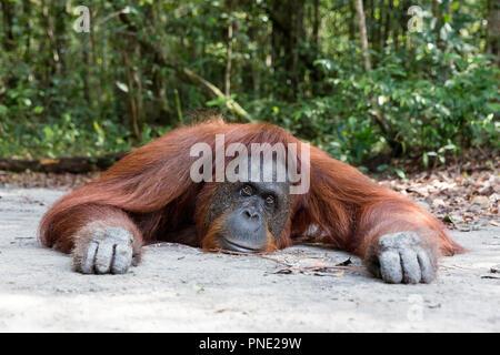 Femelle orang-outan, Pongo pygmaeus, au Camp Leakey, Bornéo, Indonésie. Banque D'Images