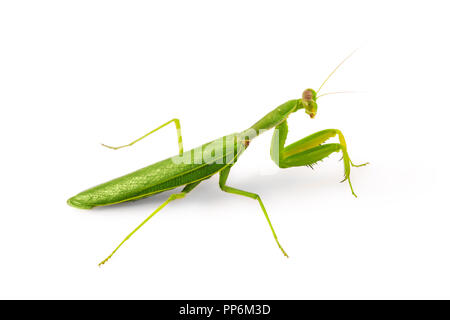 Belle verte Insecte Mante religieuse Mante religieuse européenne ou isolé sur fond blanc. Banque D'Images
