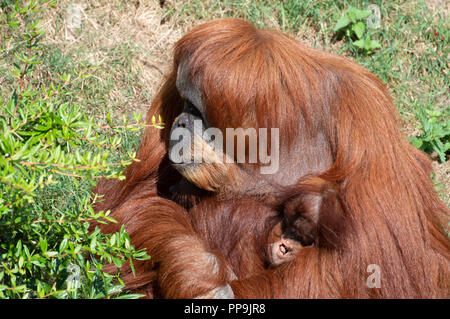 Un Orang mère tenant son bébé dans les bras. Banque D'Images