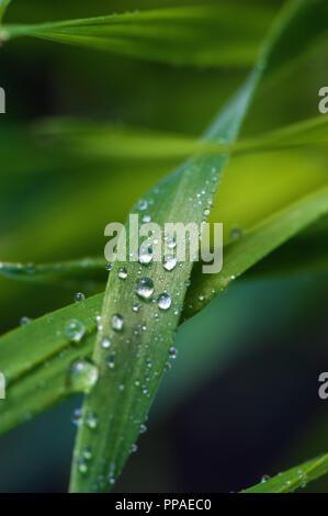 Goutte d'eau sur une feuille verte le matin. Banque D'Images