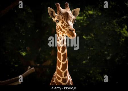 Closeup portrait d'une girafe dans un zoo fond sombre Banque D'Images
