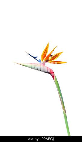 Oiseau de paradis avec fleur rouge vibrant jaune bleu et vert avec ombre sur pétale isolé sur fond blanc Banque D'Images