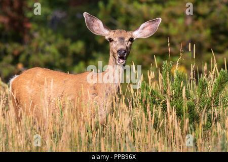 Le cerf mulet (Odocoileus hemionus)